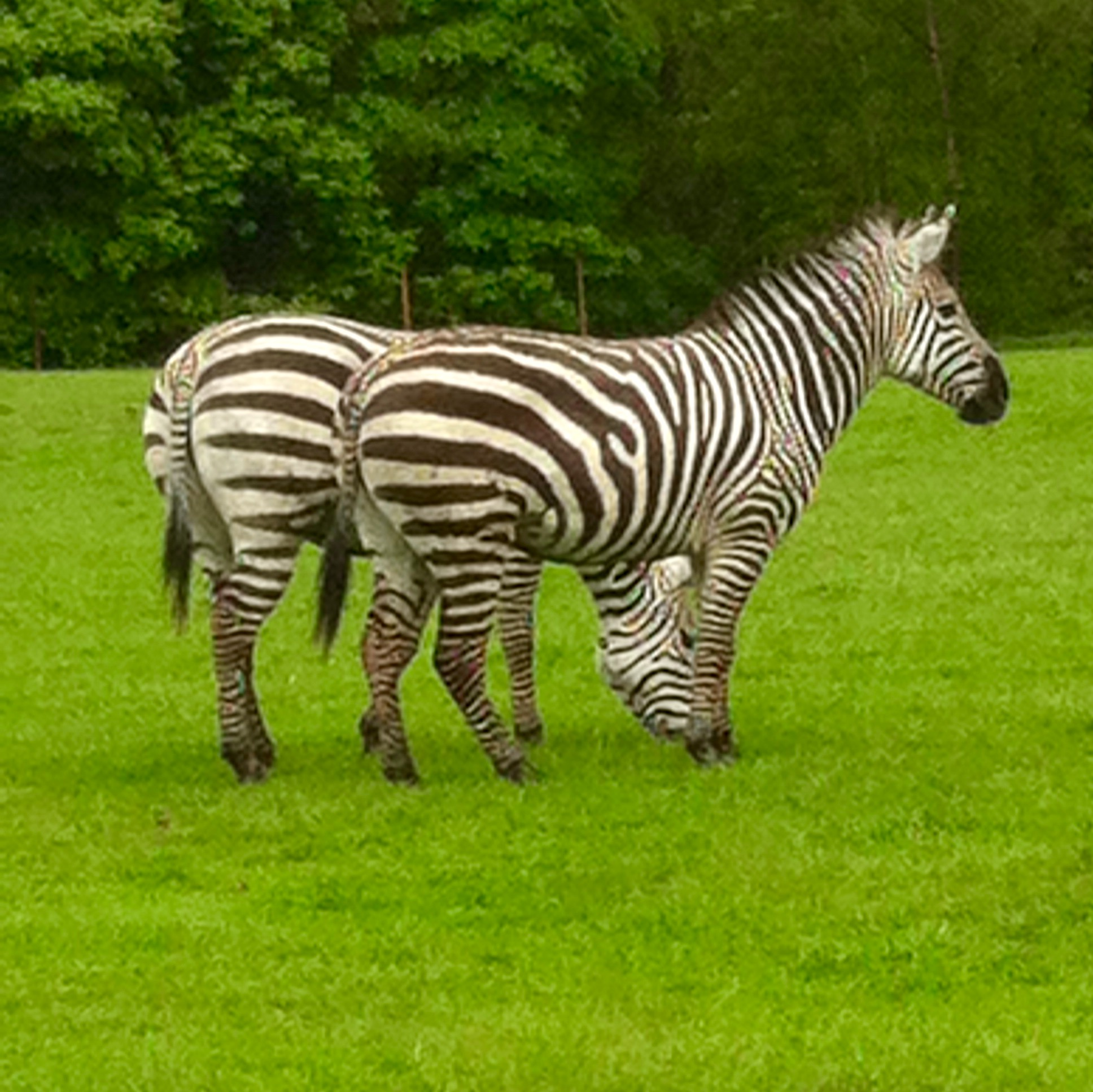 Knowsley Safari Park Tour