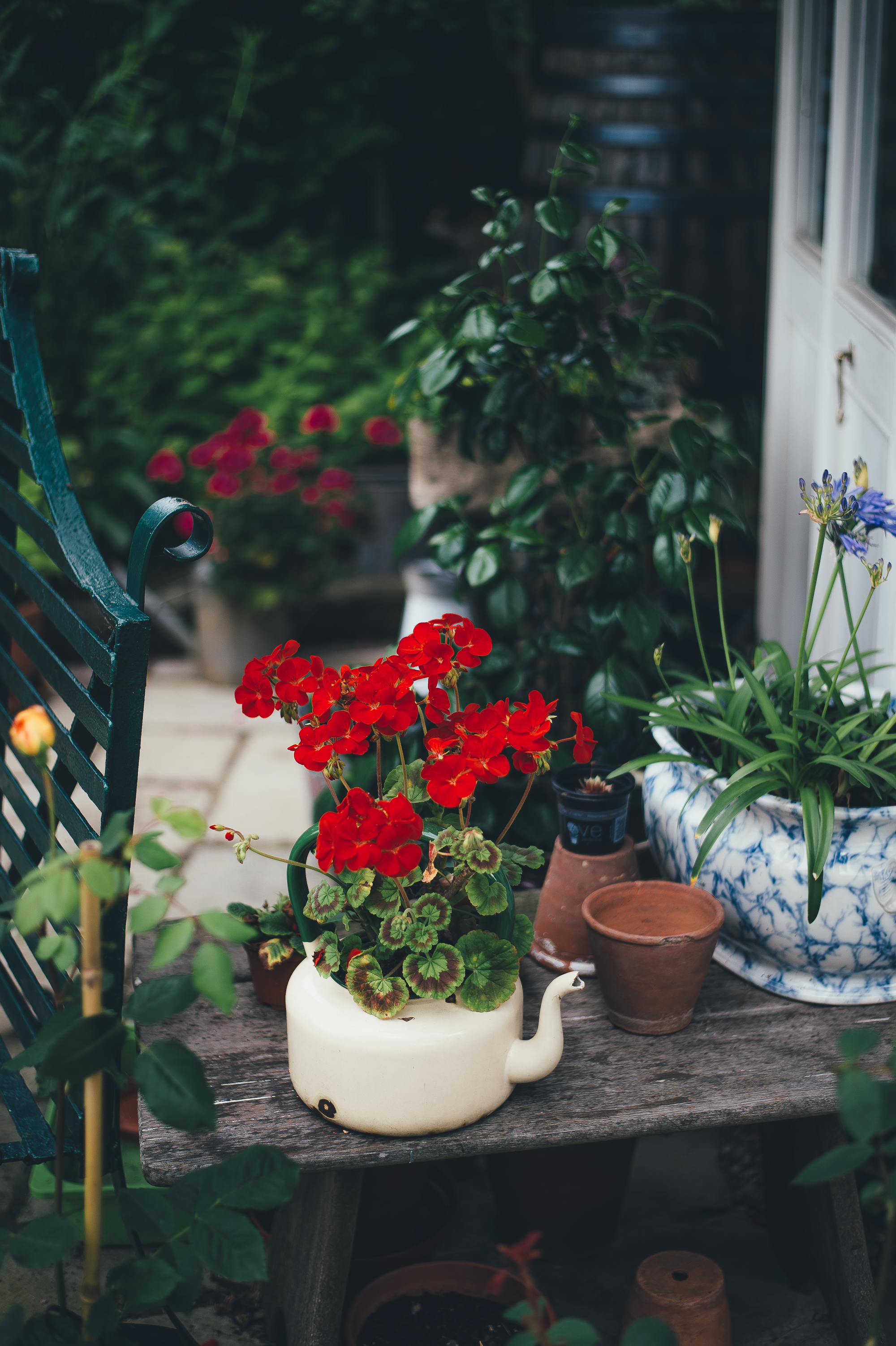 Autumn garden makeover. A cream teapot has been upcycled into a planted for a red flower plant
