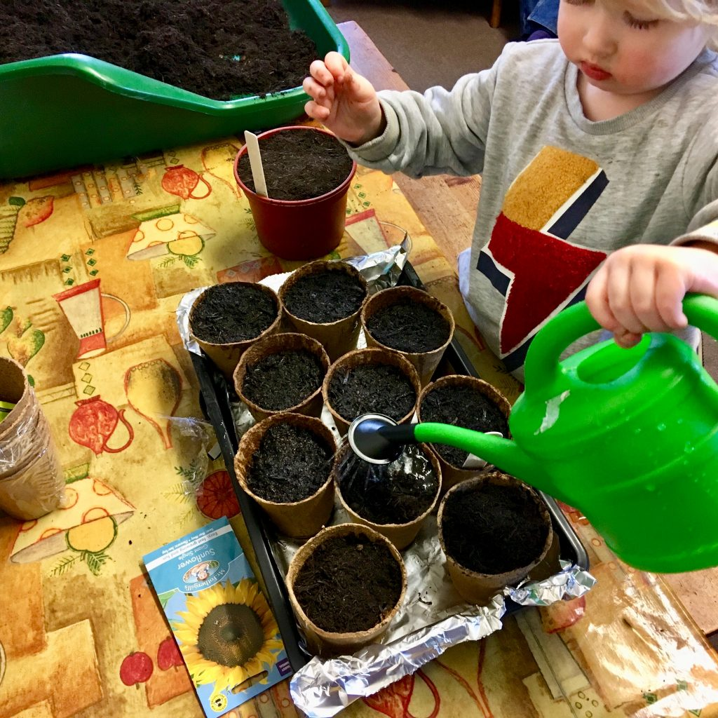 Planting sunflower seeds. Lucas is watering a tray of filled pots