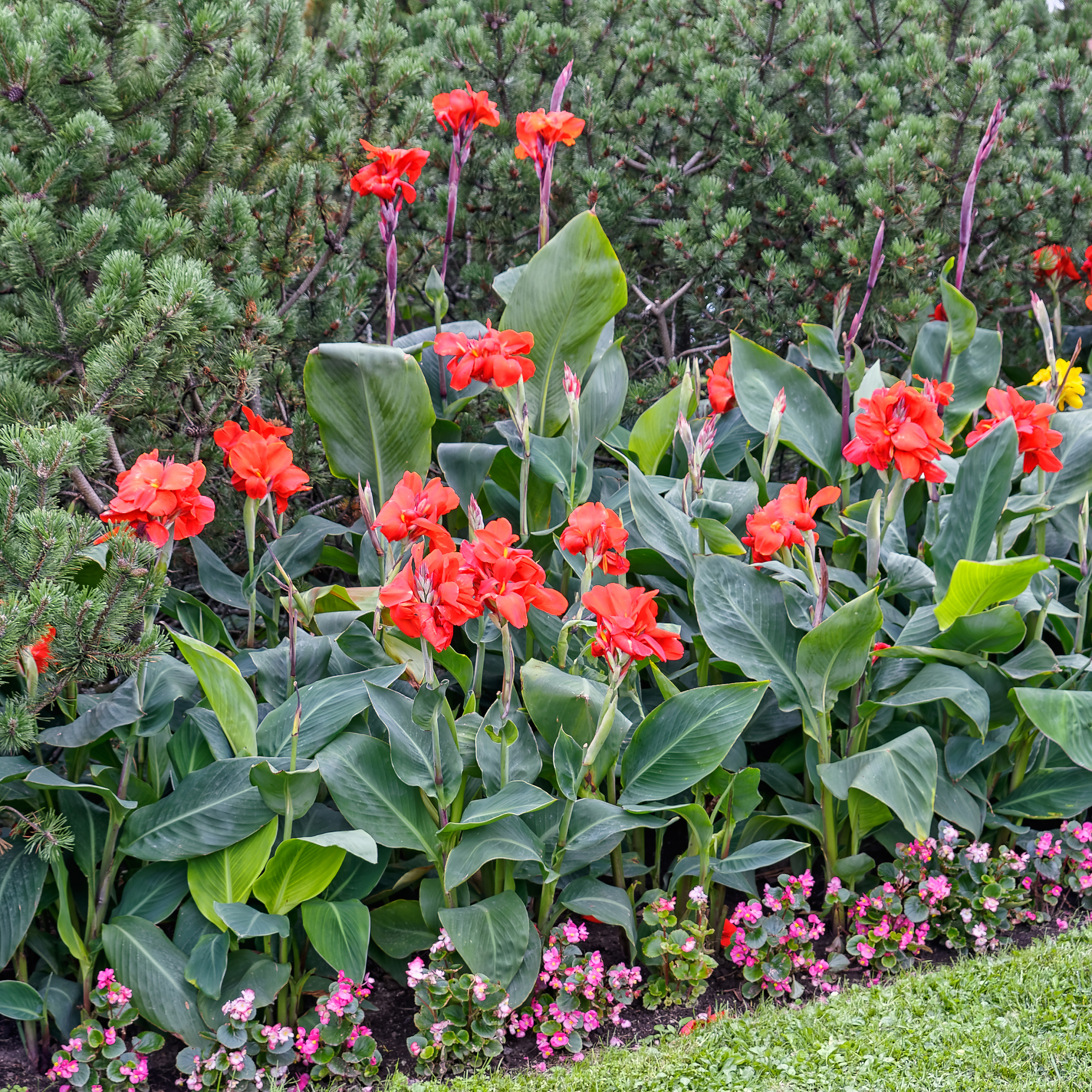 Red canna lillies