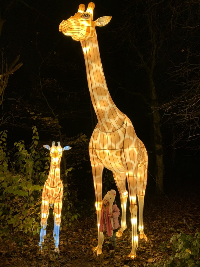 Spike stood in front of a adult giraffe and young giraffe lit up at lightopia manchester