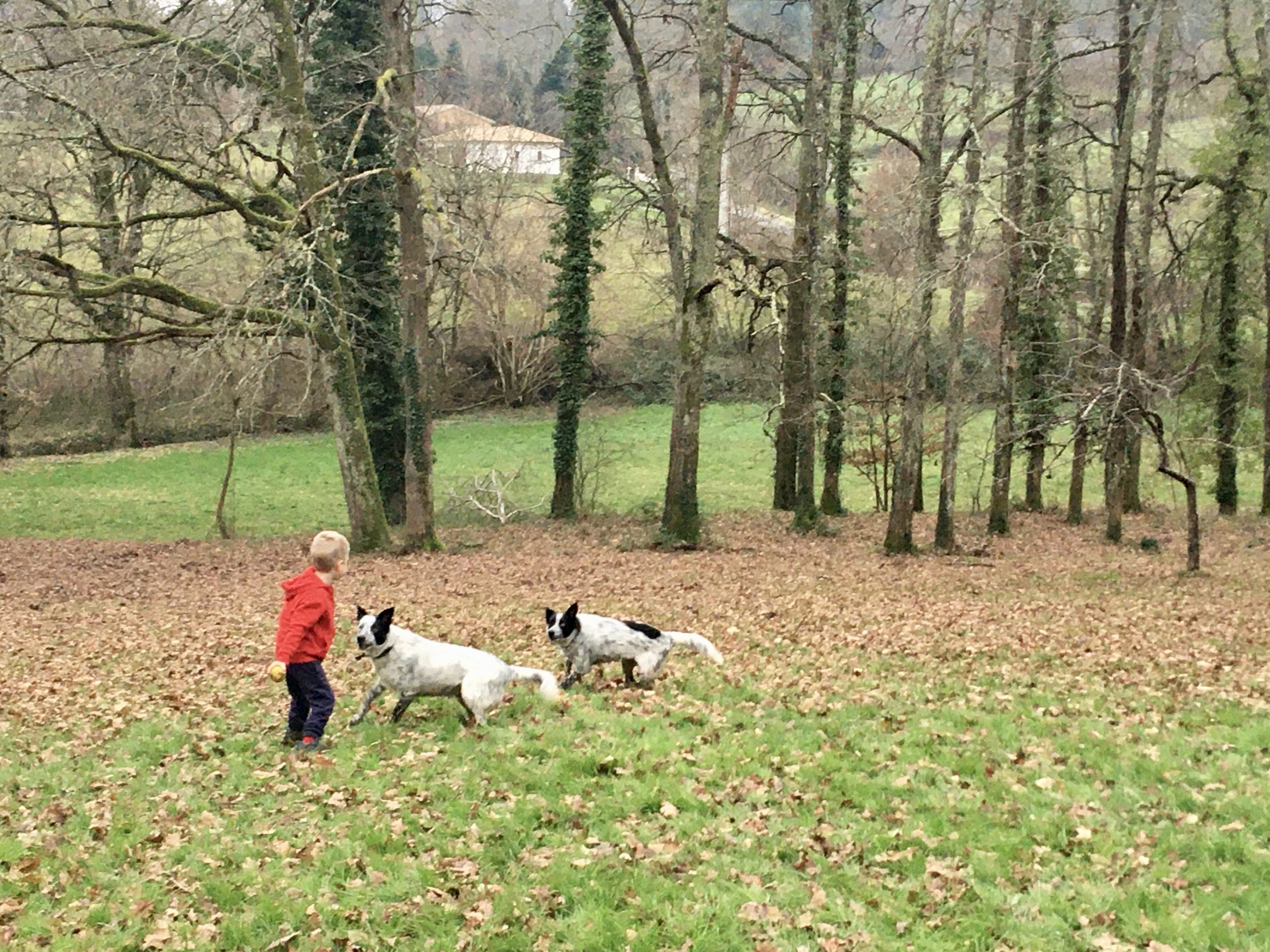 Lucas in a field with 2 black and white collie dogs looking at him waiting for the ball to be thrown whilst we are pet sitting