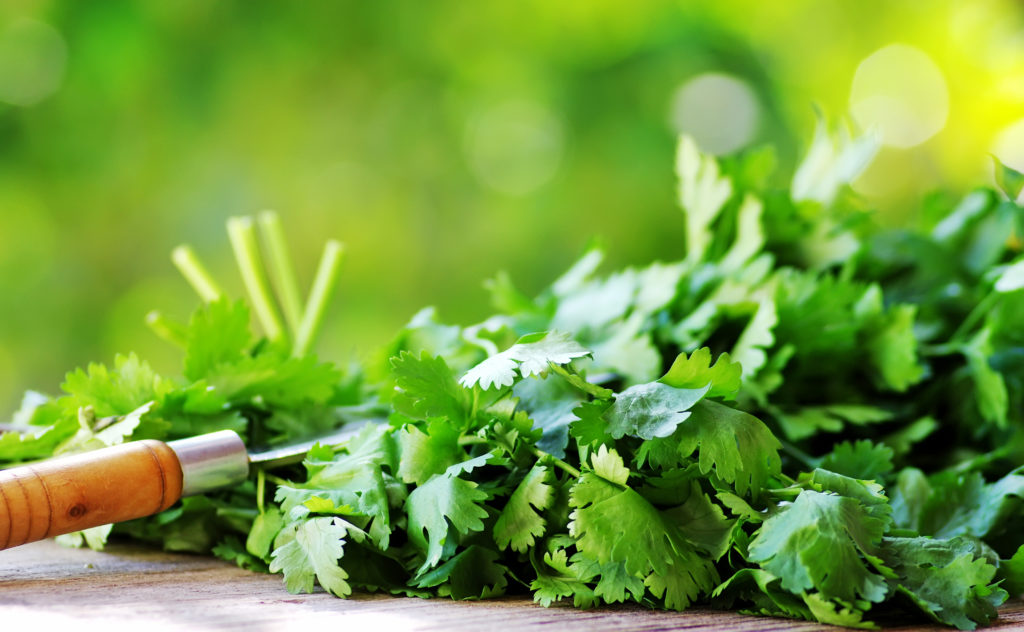 Coriander/Cilantro herbs and knife.