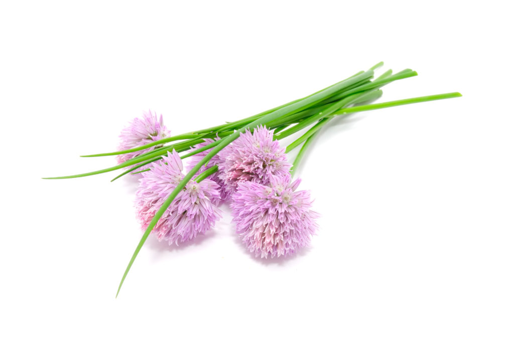 Chives and Chive Flowers Isolated on White Background