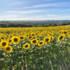Sunflower field in the dordogne