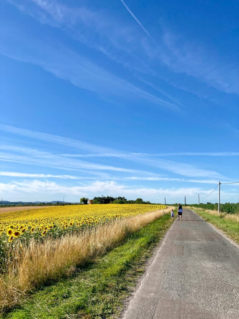 Sunflower fields on the side of the road in vendoire, dordogne France