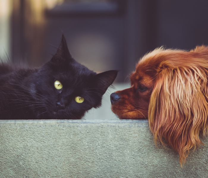a king charles cavalier dog led down next to a black cat